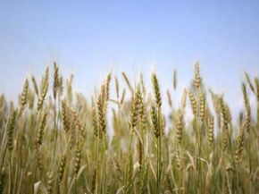 While only the heads of wheat plants contain enriching human foods, farmers usually harvest the dried stems and leaves for use as hay, which provides livestock with food and a comfortable place to sleep.