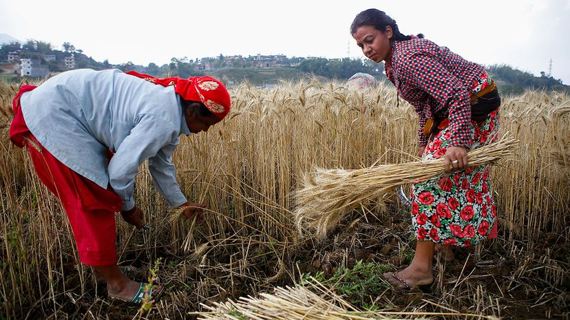 Farmers near Kathmandu, Nepal, harvest wheat. A new scientific study projects the nutritional value of grains may be diminished by human-caused CO2 emissions. Sunil Pradhan/NurPhoto/Getty Images