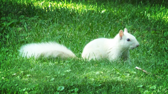 Ghostly White Squirrels Haunt a Town in Transylvania County, North Carolina