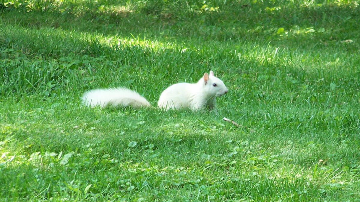 ノースカロライナ州トランシルベニア郡の町に出没する幽霊のような白いリス