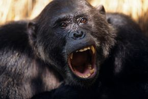 Did humans and chimps inherit a violent nature from a common ancestor?