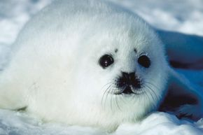 The universal sign for cuteness: a seal pup.