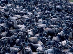 One million wildebeest in the Serengeti plain migrate in an enormous circle each year.