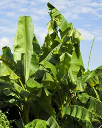 There are a lot of types of banana plants, and most need help in the winter.