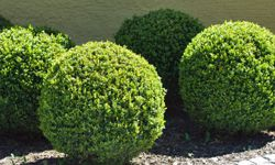 Even though they may not bloom, don't forget about your bushes and shrubs.