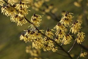 Witch hazel was once believed to have special abilities, and it is still commonly used in modern skin cleansers. See more pictures of unusual skin care ingredients.