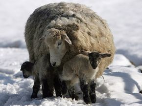 Image Gallery: Mammals This mother sheep helps to keep her little lambs warm while their coats are still growing. See more pictures of mammals.