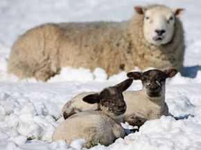 Thanks to wool, even the cold snow can't penetrate to the sheep's skin.