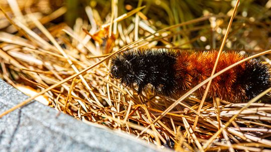 Move Over Groundhog, Woolly Caterpillars Forecast Winter Too!