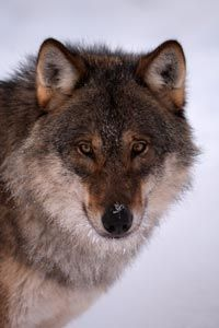 Humans have hunted wolves for various reasons ever since we've been in contact with them.
