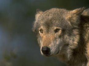 As wolf populations have drastically declined and then rebounded, laws regarding wolf hunting have tried to reflect these changes.
