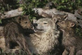 Wolves repopulated in the United States at an incredible rate, especially for an endangered species.