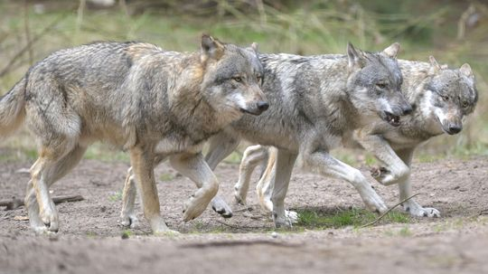 What Is a Wolfpack Mentality?