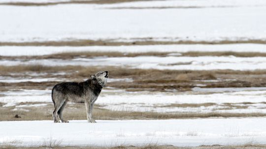 Wolves' Return to Yellowstone a Boon for Streams