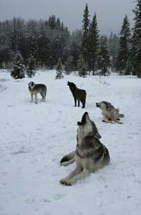 Wolves often howl together as a chorus.