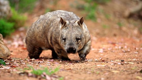 Why Is Wombat Scat Shaped Like a Cube?