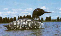 The 21-foot-long World's Largest Floating Loon is tethered in the middle of Virginia, Minnesota's Silver Lake. Learn all about it at HowStuffWorks.