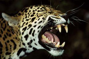 Jaguar showing its teeth
