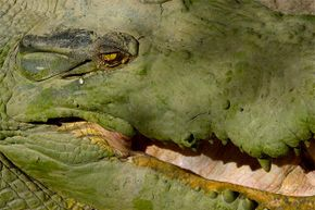That tear in a crocodile's eye while eating is neither from sadness or glee; it's just a physiological response.