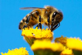 Bees don't have knees as we think of knees.