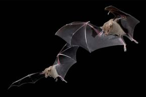 Bats actually have good eyesight -- they just don't need it much.