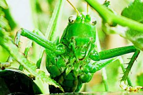 Bugs don't have ears -- at least not on their heads. Grasshoppers have ears on their abdomens.