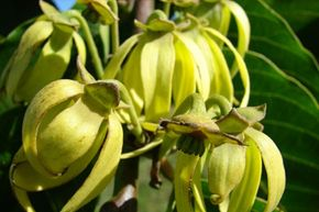 Unusual Skin Care Ingredients Image Gallery Ylang-ylang is used as a fragrance, but many people believe itcan alsobalance out the skin's oil production. See more pictures of unusual skin care ingredients.