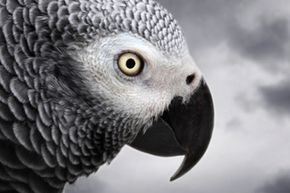 African grey parrots have long been known as highly intelligent animals, but understanding zero is a new one. See more bird pictures.
