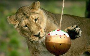 A lioness bats at a ball as part of her enrichment activities at the London Zoo.