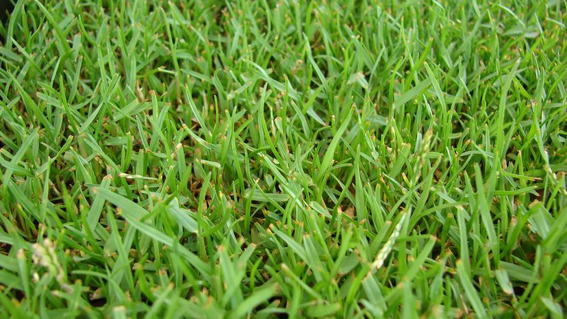 turf of zoysia grass