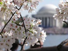 Cherry Blossoms signal spring in Washington, D.C.
