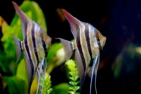 Before you begin setting up your aquarium, you'll want to have a good idea of what you want it to look like upon completion. See more aquarium fish pictures.