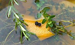 An alternative to a sweet honey brine is one made with herbs, citrus peels, peppercorns and salt.