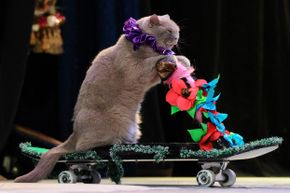 A cat performing during a show in the Moscow Cat Theatre, founded by famous Russian clown Yuri Kouklatchev.