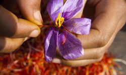 Saffron is expensive because it's difficult to harvest. It's a process that can only be done by hand.