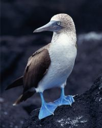 A Blue-footed Booby
