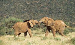 African elephants (males) sparring at the Samburu National Reserve in Kenya