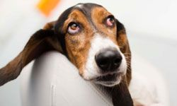 If you've got a low-energy family, the bassett hound is the pooch for you.