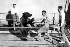 Boxing a bear might be more brutal on the human than the bear.