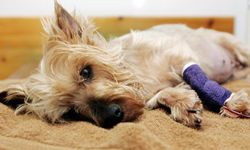 This Yorkshire terrier died of liver failure after eating contaminated pet food.