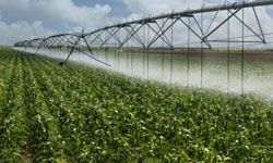 The amount of water need to irrigate biofuel crops like corn can put a strain on local water supplies.