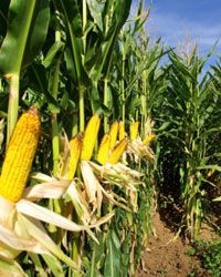 While corn may be a viable fuel source, the energy used to turn it into ethanol may not be so environmentally friendly.