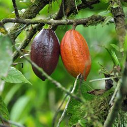 Chocolate comes from cocoa beans, the fruit of the cacao tree.