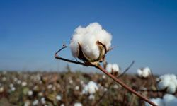 Cottonseed oil begins to solidify in chilly weather, making it impractical for cold climates.