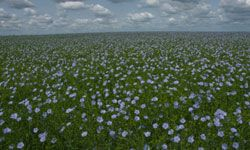 Linseed (or flaxseed) oil is another vegetable oil with interesting biofuel potential.