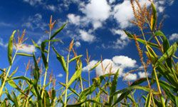 Edible biofuels, like corn, can be an environmentally friendly alternative to fossil fuels.
