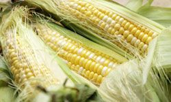 While corn has become a very popular biofuel, it's not without its drawbacks.