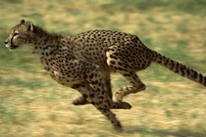 You didn't think you'd make it through this list without seeing a picture of a cheetah, did you?