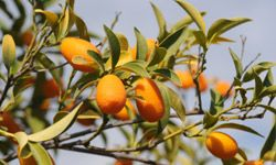 If you can't afford to go all organic, should you put your money where your kumquats are? See more fruit pictures.
