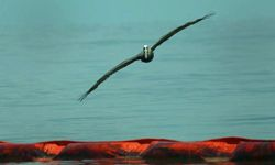 A pelican flies over an oil slick boom in Grand Isle, La., following the Deepwater Horizon oil spill in 2010. Protecting affected wildlife was one of the goals of the humanitarian workers who came to help.